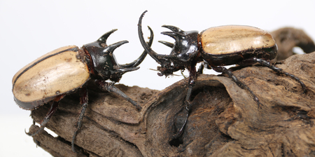 he: Rhinoceros beetle 5 He Against natureon a white background.