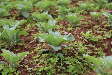 plots: Collard garden plots