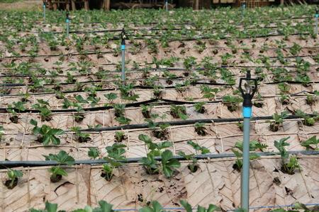 plots: The strawberry garden plots. Stock Photo