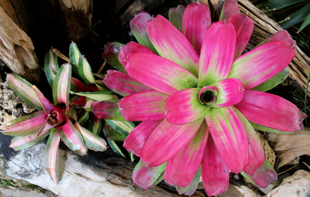 Colorful Bromeliad plants in flower shop.