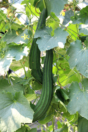 courgette: Zucchini or courgette plants. Stock Photo
