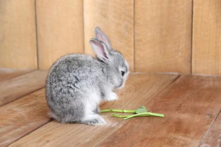 sweet grasses: Gray rabbit eating morning glory on the wooden floor.