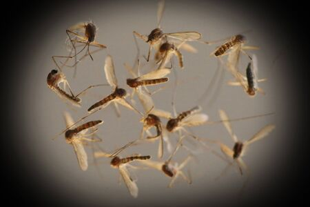 mosquitoes: Mosquitoes dead