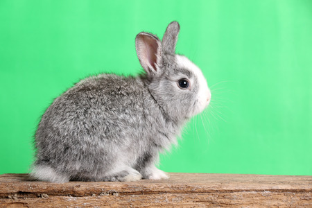 intrigued: Gray rabbit isolated on a green background.