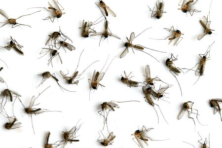 mosquitoes: Many dead mosquitoes isolated on white background. Stock Photo