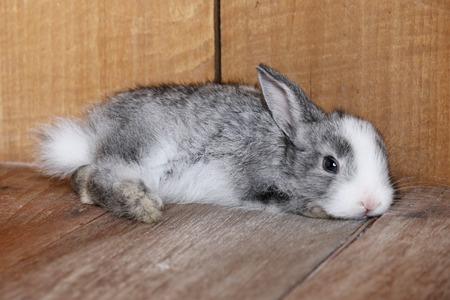sweet grasses: Rabbit lying on the wooden floor