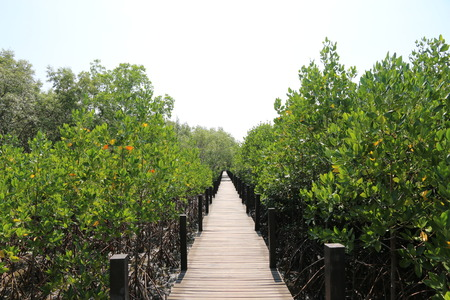prong: Walkway with wooden bridge through mangrove forrest, Thung Prong Thong (Thai language) at Rayong, Thailand.