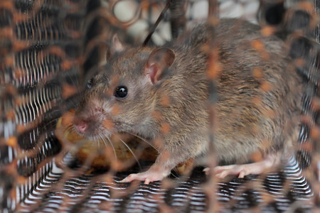 Rat trapped in the cage