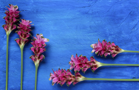 Siam Tulip on a wooden blue background.copy space
