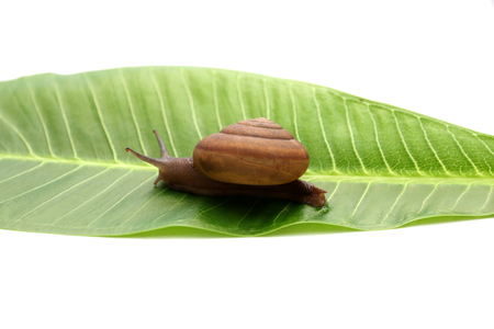 edible snail: Snail on green leaf isolated white background