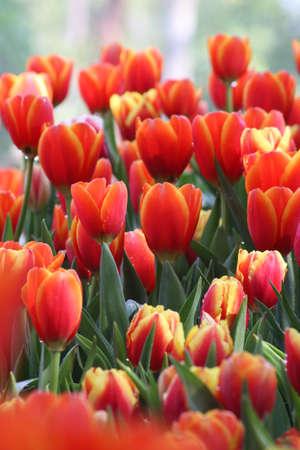 Beautiful orange tulips. Stock Photo