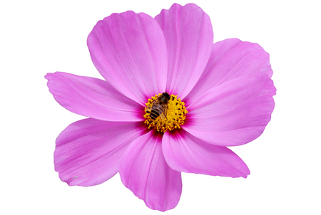 Bee on purple flower isolated on white,with clipping path.