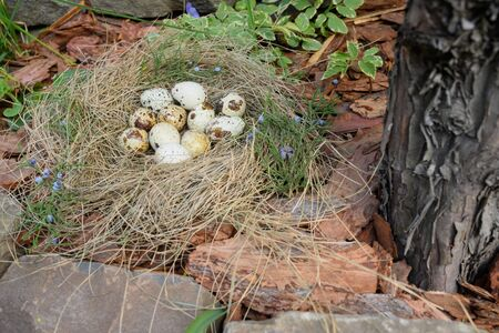 Quail eggs lie in a nest of straw in outdoor. No people. Concept of the Christian holiday of Holy Easter