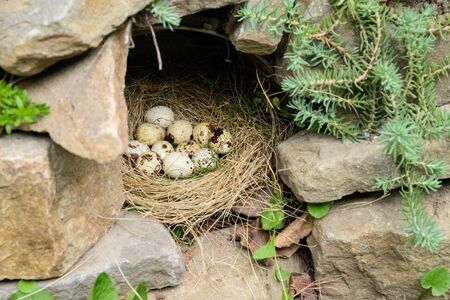 Quail eggs lie on nest of straw in a cave in outdoor. No people. Concept of the Christian holiday of Holy Easter