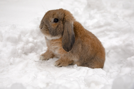 A small decorative rabbit of ram breed is sitting and digs a hole. A cute rabbit on the white winter snow. Standard-Bild - 117167653