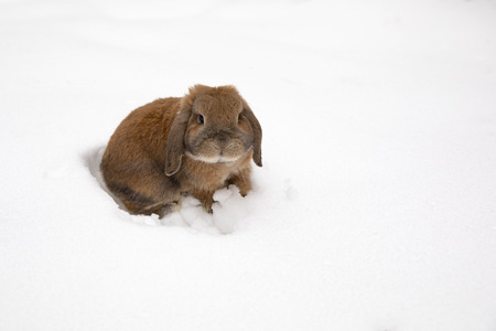 A small decorative rabbit of ram breed eat snow and digs a hole. A cute rabbit on the winter snow.