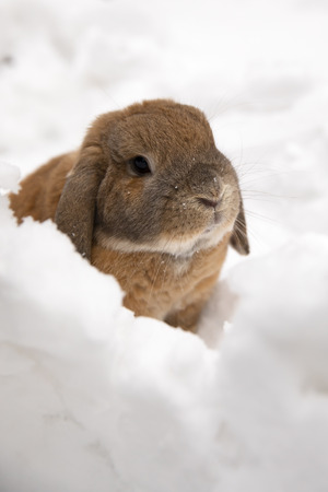 A small decorative rabbit of ram breed is sitting and digs a hole. A cute rabbit on the white winter snow.