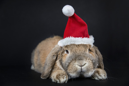 Dwarf rabbit breed sheep in the Christmas cap lies. New Year's photo session. Mammal pet.