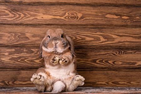 ドワーフウサギの品種ラムが座っています。強力なウサギの後ろ足 写真素材 - 123098581
