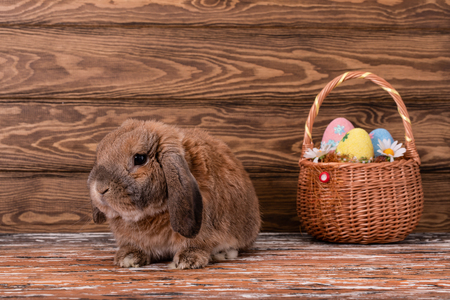Dwarf rabbit breed sheep lies. Easter bunny. Basket with eggs.