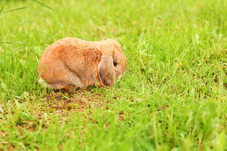 Little lop-eared rabbit sits on the lawn. Dwarf rabbit breed ram at sunset sun. Summer warm day. Stock fotó