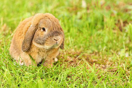 Kleines Kaninchen mit Hängeohren sitzt auf dem Rasen. Zwergkaninchenrasse bei Sonnenuntergangsonne. Sommer warmer Tag. Standard-Bild