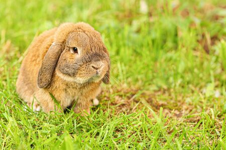 Little lop-eared rabbit sits on the lawn. Dwarf rabbit breed ram at sunset sun. Summer warm day. Imagens