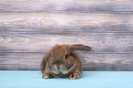 Dwarf rabbit breed sheep lies on the parquet. The ginger rabbit is looking at the camera. Stock Photo
