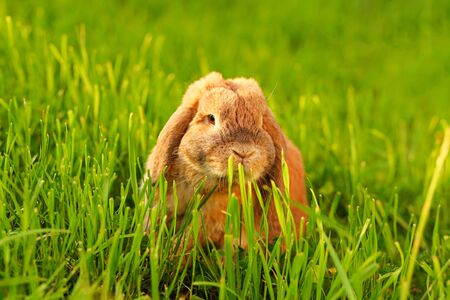 Little lop-eared rabbit sits on the lawn. Dwarf rabbit breed ram at sunset sun. Summer warm day. 写真素材