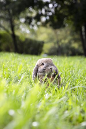 Little lop-eared rabbit sits on the lawn in park. Dwarf rabbit breed ram at sunset sun. Summer warm day.