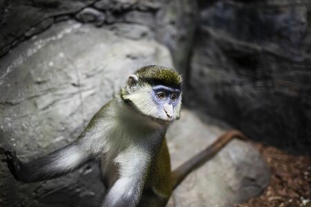 Red-tailed monkey in the rocky terrain.