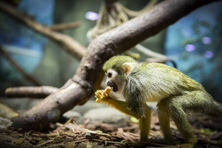 Saimiri sciureus sits on the ground and eats.