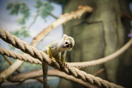 Saimiri sciureus sits on a rope and grimaces.