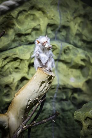 Silver marmoset Mico argentatus sits on a log and eats.