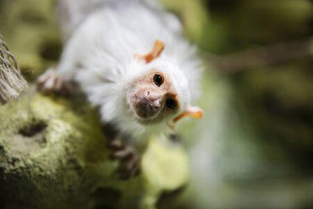 Silver marmoset looking at the camera.