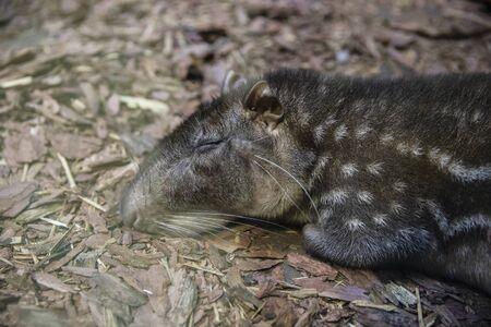 Il paca di pianura dorme per terra. Archivio Fotografico