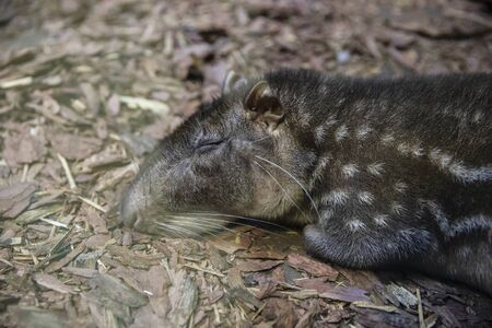 Lowland paca sleeps on the ground.