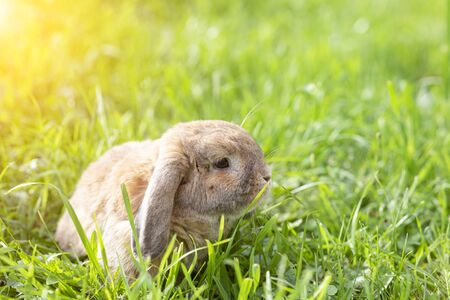 Holland fold rabbit is sitting on a green lawn. Holland Lop. A sheep rabbit breed is sitting on the grass at sunset.