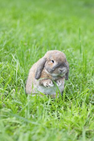Dutch fold rabbit is sitting on green grass. Dwarf Dutch ram rabbit. Holland Lop.