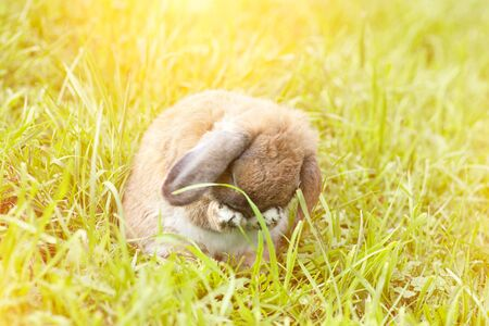 Holland fold rabbit is washing himself. Holland Lop. A sheep rabbit breed is sitting on the grass at sunset.