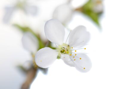 A branch of blooming cherry. White flowers of a cherry.