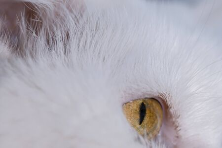 White cat with brown eyes.