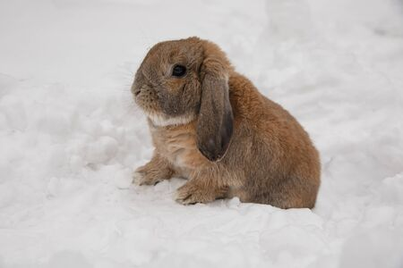 Dutch rabbit sits in the snow.