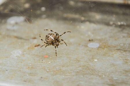 Spider araneus Reklamní fotografie