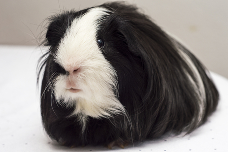 Lovely Long-haired guinea pig of black and white color.
