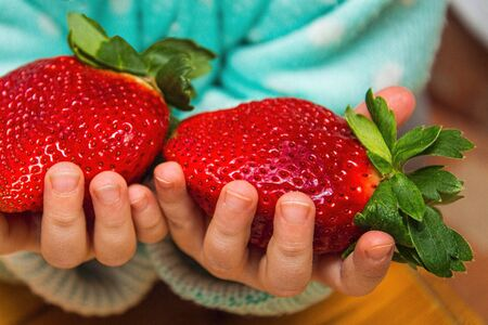 large ripe strawberry, child holds two huge strawberries in his hands