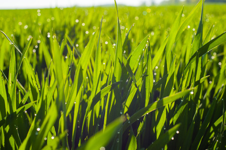 young shoots of wheat with drops of dew, close-up with partial defocus Stockfoto