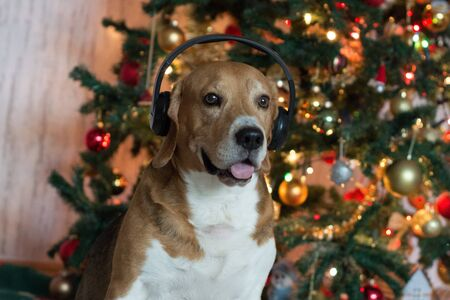 Beagle dog in headphones near decorated Christmas tree