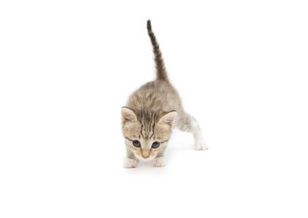 Cute gray kitten isolated on a white background. Reklamní fotografie