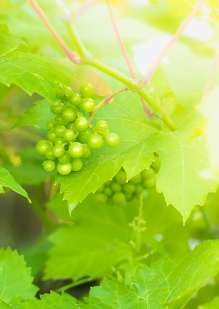 An unripe green grapes in a natural environment in the sun Reklamní fotografie